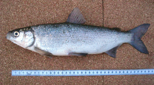 Fish identification for White fish types