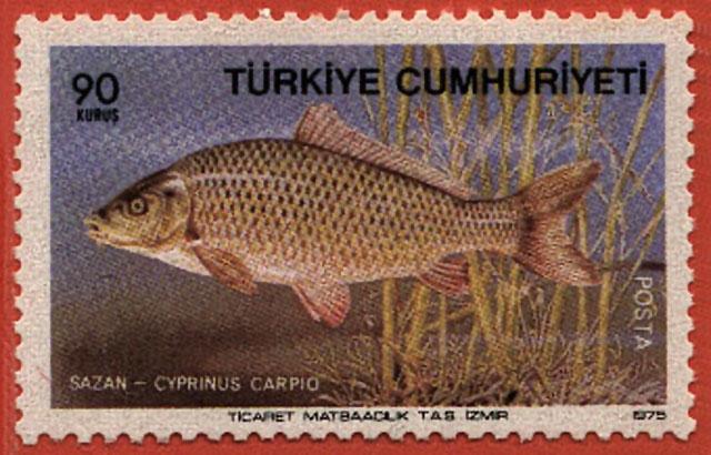 Cyprinus carpio carpio