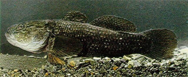 Картинки по запросу Gobiomorphus gobioides