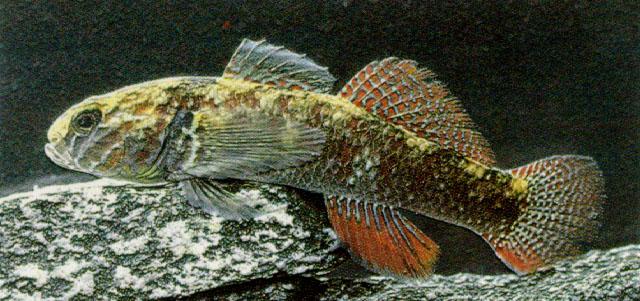 Картинки по запросу gobiomorphus cotidianus