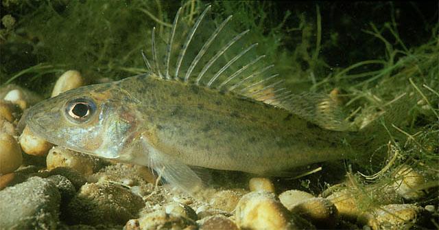 Gymnocephalus cernuus