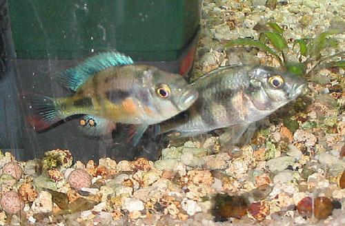 Картинки по запросу Paralabidochromis beadlei