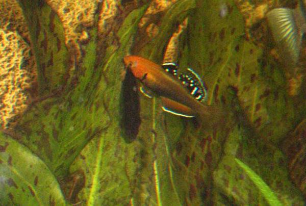 Hypseleotris Leuciscus