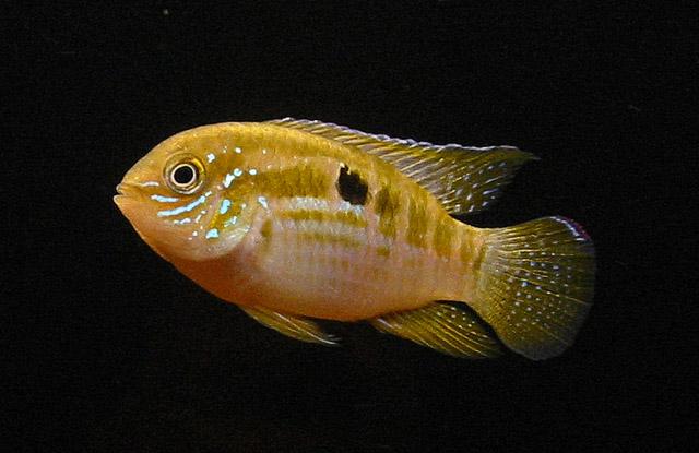 Картинки по запросу Laetacara flamannellus