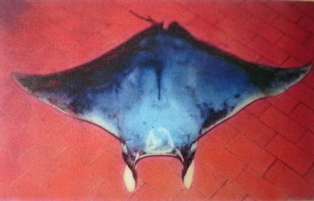 atlantic devil ray diagram schematic diagram Devil Ray vs Manta Ray atlantic devil ray diagram wiring diagrams thumbs the atlantic manta ray giant fish identification manta ray