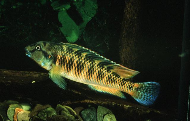 Картинки по запросу Orthochromis luichensis