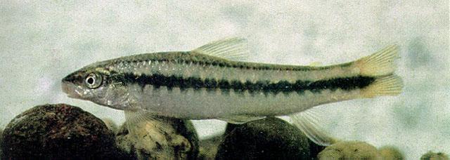 Картинки по запросу parodon caliensis