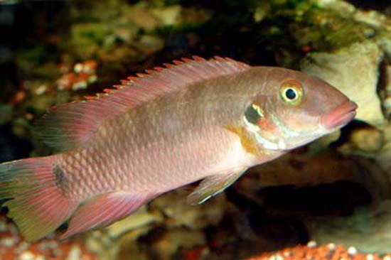 Картинки по запросу Placidochromis rotundifrons