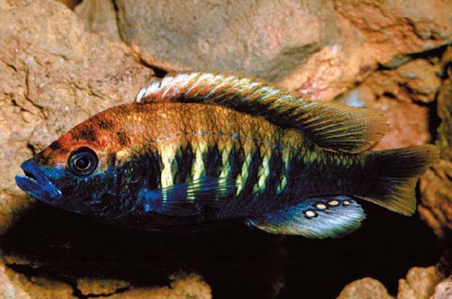 Картинки по запросу Haplochromis snoeksi