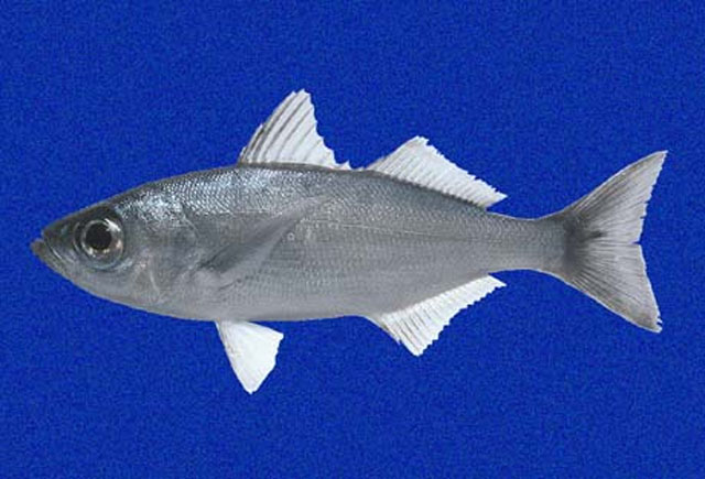 White salema (Xenichthys agassizii)