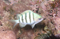 Image of Abudefduf saxatilis (Sergeant-major)