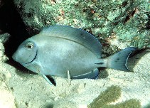 Image of Acanthurus bahianus (Ocean surgeon)