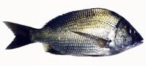 Image of Acanthopagrus butcheri (Southern black bream)