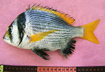 Image of Acanthopagrus catenula (Bridled seabream)