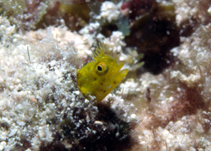 Image of Acanthemblemaria chaplini (Papillose blenny)