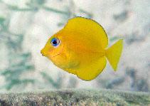 Image of Acanthurus coeruleus (Blue tang surgeonfish)