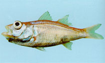 Image of Acropoma japonicum (Glowbelly)