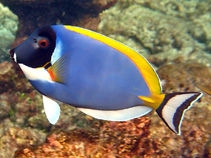 Image of Acanthurus leucosternon (Powderblue surgeonfish)