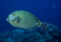 Image of Acanthurus maculiceps (White-freckled surgeonfish)