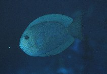 Image of Acanthurus nubilus (Bluelined surgeon)