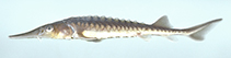 Image of Acipenser oxyrinchus (Atlantic sturgeon)