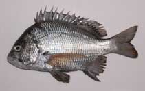 Image of Acanthopagrus pacificus (Pacific seabream)