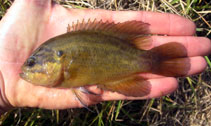 Image of Acantharchus pomotis (Mud sunfish)