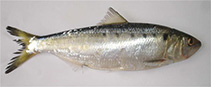 Image of Alosa algeriensis (North African shad)