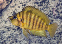 Image of Altolamprologus compressiceps