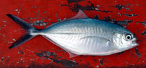 Image of Alepes vari (Herring scad)