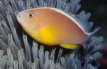 Image of Amphiprion akallopisos (Skunk clownfish)