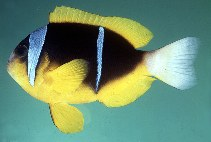 Image of Amphiprion allardi (Twobar anemonefish)