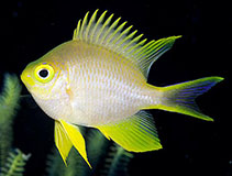 Image of Amblyglyphidodon aureus (Golden damselfish)