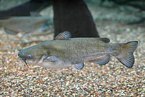 Image of Ameiurus catus (White catfish)