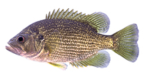 Image of Ambloplites cavifrons (Roanoke bass)
