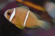 Image of Amphiprion chrysopterus (Orangefin anemonefish)