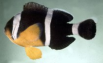 Image of Amphiprion chrysogaster (Mauritian anemonefish)