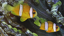 Image of Amphiprion clarkii (Yellowtail clownfish)