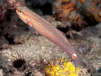 Image of Amblygobius decussatus (Orange-striped goby)