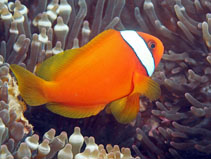 Image of Amphiprion frenatus (Tomato clownfish)