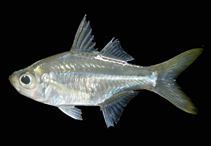 Image of Ambassis gymnocephalus (Bald glassy)