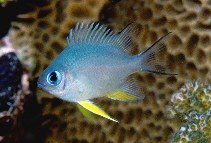 Image of Amblyglyphidodon indicus (Maldives damselfish)