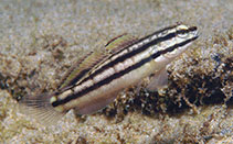 Image of Amblygobius linki (Link\