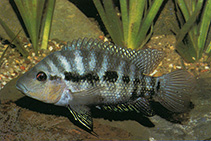 Image of Cribroheros longimanus (Red breast cichlid)