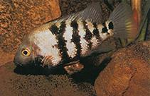 Image of Astatheros macracanthus (Blackthroat cichlid)