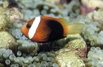 Image of Amphiprion melanopus (Fire clownfish)