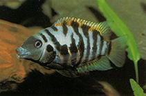 Image of Amatitlania nigrofasciata (Convict cichlid)