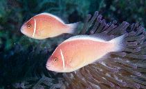 Image of Amphiprion perideraion (Pink anemonefish)