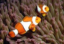 Image of Amphiprion percula (Orange clownfish)