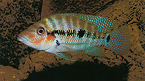 Image of Cribroheros robertsoni (False firemouth cichlid)